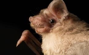 Картинка природа, бульдоговые летучие мыши, Mormopterus