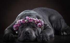 Картинка морда, цветы, собака, венок, Кане Корсо