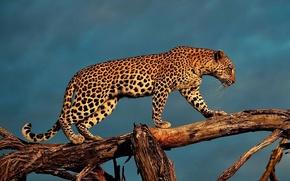 Обои леопард, дерево, идёт, ствол, фон, обои