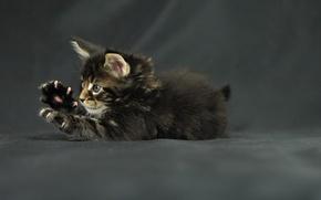 Обои maine coon, Funny cat, котенок, мейн-кун, лапки, kitten, когти, кот