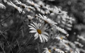 Обои цветы, ромашки, природа