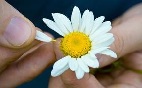 Обои цветы, цветочки, цветочек, ромашка