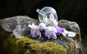 Картинка цветы, камень, мох, весна, крокусы, кувшин