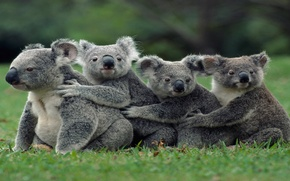 Картинка Australian, group, family, marsupial, Koalas