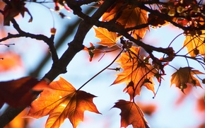 Картинка небо, макро, свет, ветки, дерево, клён, листики, осенние