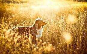 Картинка поле, свет, собака
