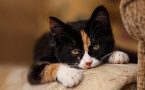 Обои кошка, cat face, cat