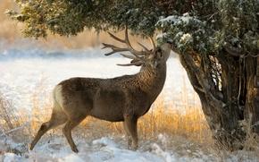 Картинка снег, дерево, олень, можжевельник