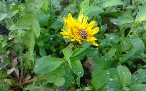 Картинка пчела, дождь, одуванчик