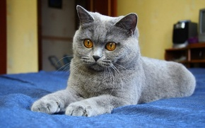 Обои кошка, синий фон, серый, глаза, лапы, кот