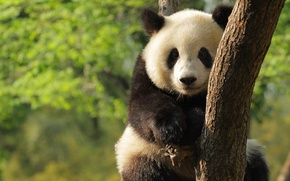 Картинка дерево, малыш, медведь, панда