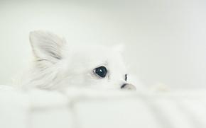 Картинка взгляд, собака, Chihuahua