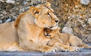 Обои лев, Кошки, малыш, львы