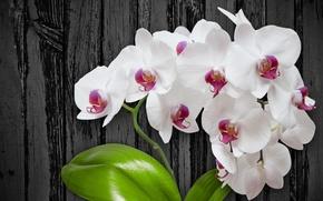 Картинка цветы, white, flower, wood, orchid