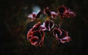 Картинка цветок, фон, темный, шоколад, лепесток, dobraatebe