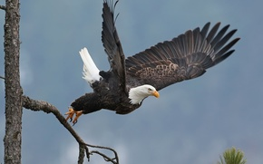 Картинка дерево, птица, крылья, взлёт, ястреб, белоголовый орлан