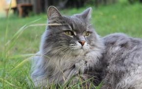 Картинка животные, лето, трава, кот, кошки, природа