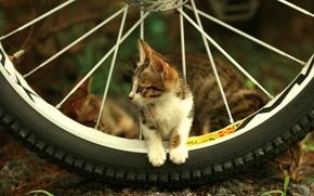 Обои взгляд, котенок, спицы, колесо