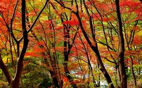 Картинка осень, лес, листья, деревья, багрянец