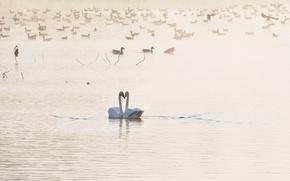 Картинка птицы, озеро, лебеди, Love you
