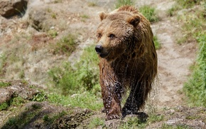 Картинка брызги, мокрый, медведь