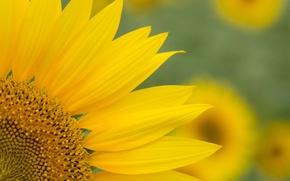 Картинка yellow, petals, sunflowers