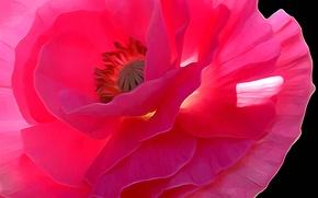 Обои макро, линии, лепестки, мак, цветок