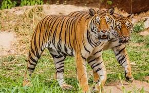 Картинка пара, тигры, большие кошки