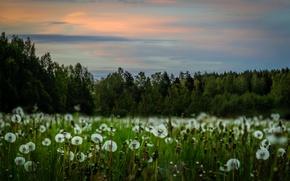 Обои природа, одуванчики, поле