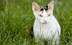 Картинка кошка, морда, обои, Русская голая кошка, Донской сфинкс, трава, wallpaper, кот