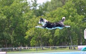 Картинка Бордер-колли, полёт, бассейн, собака, прыжок