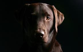 Картинка глаза, морда, собака, пес, черный фон, лабрадор