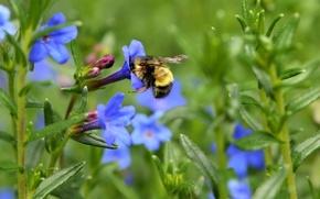 Картинка цветы, весна, луг, насекомое, шмель