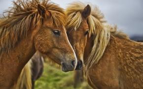 Картинка близость, лошади, грива