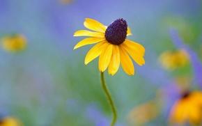 Обои цветок, желтый, рудбекия, фон