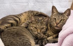 Обои пара, коте, коты