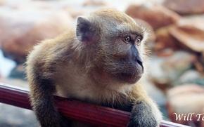Картинка monkey, brown, macro, close, look, full