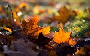 Картинка осень, трава, листья, клен