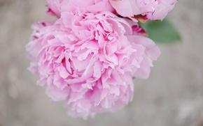 Обои пион, лепестки, розовые, цветок
