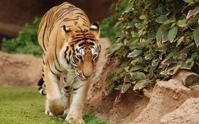 Картинка прогулка, Тигрица, походка