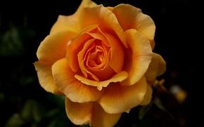 Обои цветок, роза, оранжевая, темный фон