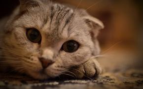 Картинка кошка, взгляд, усы, животные, лежит на лапке, киса, кошки, глаза, кот