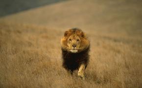 Обои кошка, животное, зверей, хищная, всех, царь, лев