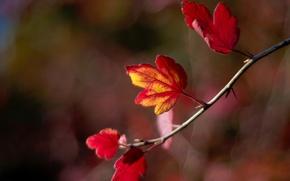 Картинка осень, листья, веточка, размытость, боке