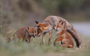 Картинка лес, природа, семья, лиса, лис, forest, fox, nature, лисята, family, Emi