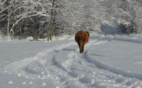 Картинка зима, снег, корова