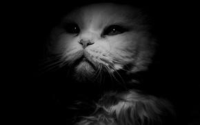 Обои взгляд, белый, фон, кот