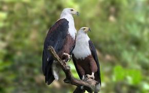 Картинка лес, ветка, орлы, живая природа, африканские рыбы орла