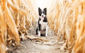 Картинка осень, собака, кукуруза