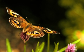 Картинка розовый, бабочка, крылья, клевер, зелёный, коричневый